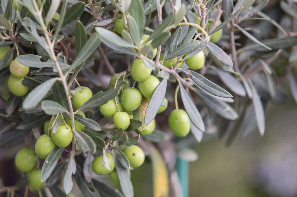 olive oil and olive leaf extract